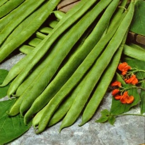 Bean Cannellino (Bush)