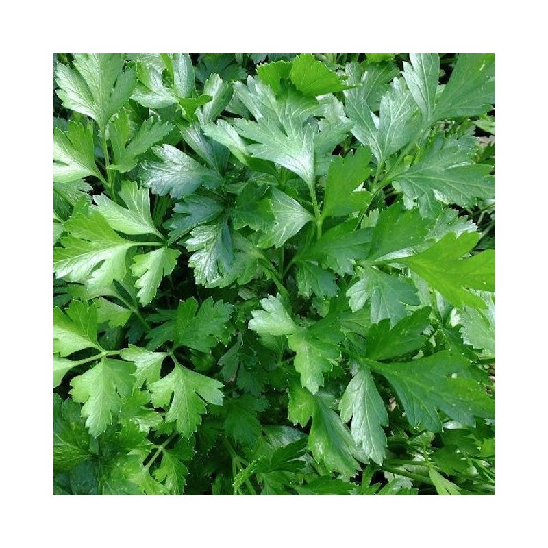 Large Leaf Italian Parsley
