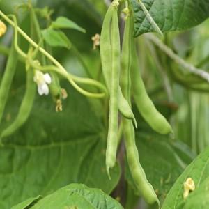Bean Shelling (Bush)