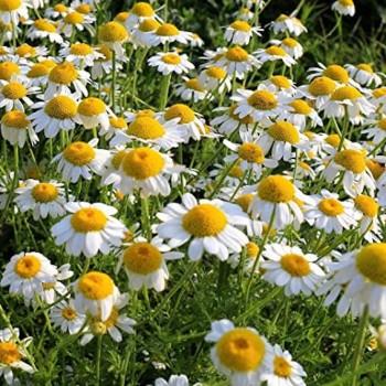 Camomile Flower Seeds